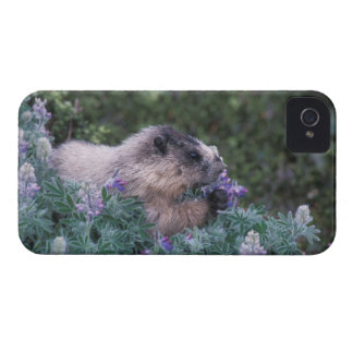 Hoary marmot feeding on silky lupine, Exit Case-Mate iPhone 4 Case