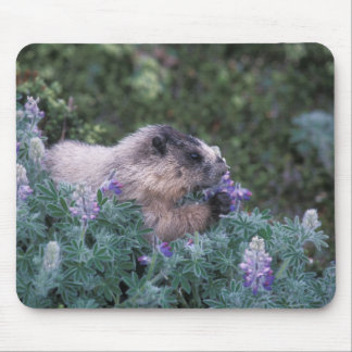 Hoary marmot feeding on silky lupine, Exit Mouse Pad