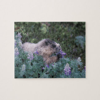 Hoary marmot feeding on silky lupine, Exit Puzzle