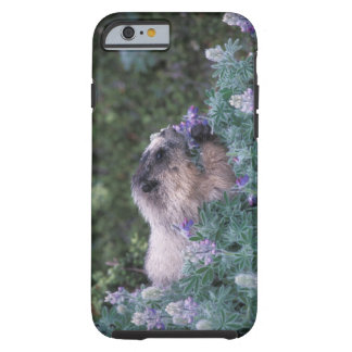 Hoary marmot feeding on silky lupine, Exit Tough iPhone 6 Case