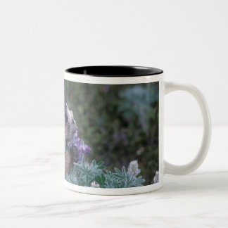 Hoary marmot feeding on silky lupine, Exit Two-Tone Coffee Mug