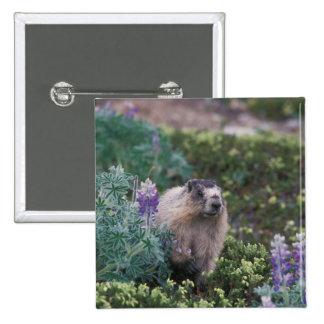 hoary marmot, Marmota caligata, feeding on silky Pinback Buttons