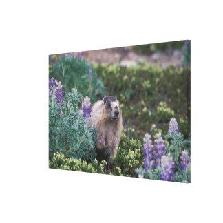 hoary marmot, Marmota caligata, feeding on silky Canvas Print