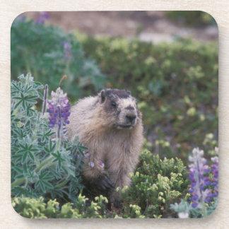hoary marmot, Marmota caligata, feeding on silky Drink Coaster