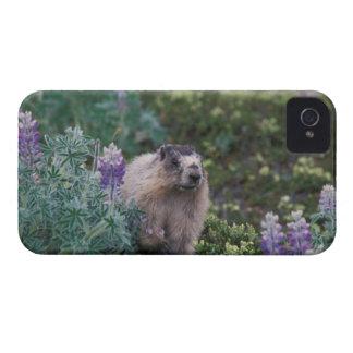 hoary marmot, Marmota caligata, feeding on silky iPhone 4 Case