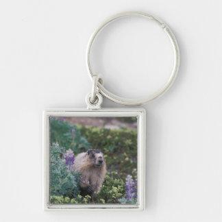 hoary marmot, Marmota caligata, feeding on silky Keychain