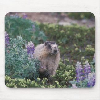 hoary marmot, Marmota caligata, feeding on silky Mouse Pads