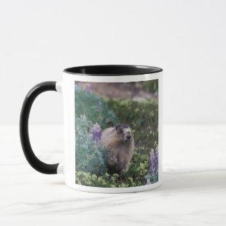 hoary marmot, Marmota caligata, feeding on silky Mug