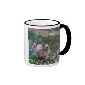 hoary marmot, Marmota caligata, feeding on silky Mugs