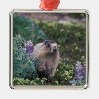 hoary marmot Marmota caligata feeding on silky Ornaments