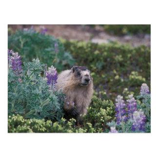 hoary marmot, Marmota caligata, feeding on silky Postcard