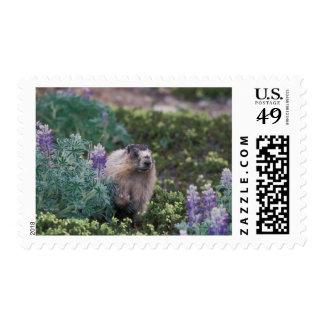 hoary marmot, Marmota caligata, feeding on silky Stamp