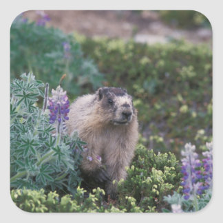 hoary marmot, Marmota caligata, feeding on silky Square Stickers
