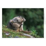 hoary marmot, Marmota caligata, scratches Greeting Card