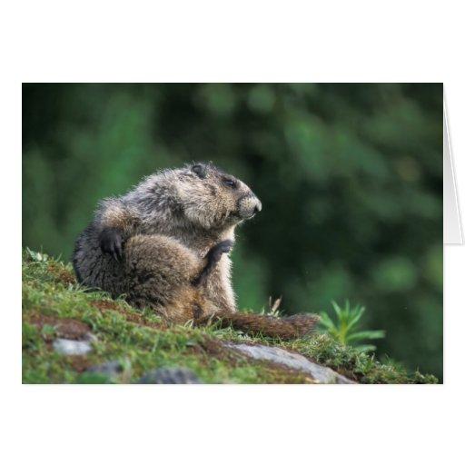 hoary marmot, Marmota caligata, scratches Cards