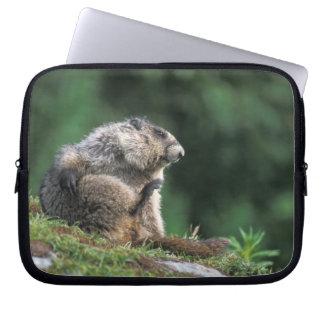 hoary marmot, Marmota caligata, scratches Computer Sleeve