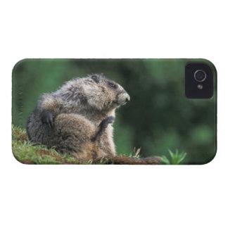 hoary marmot, Marmota caligata, scratches iPhone 4 Case-Mate Case