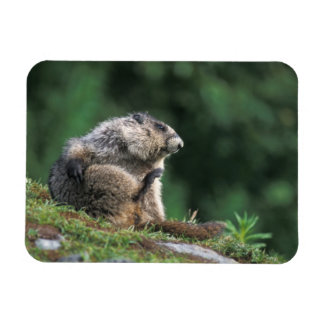 hoary marmot, Marmota caligata, scratches Magnet