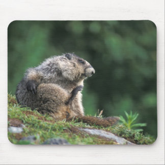 hoary marmot, Marmota caligata, scratches Mouse Pad