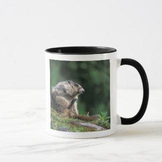 hoary marmot, Marmota caligata, scratches Mug