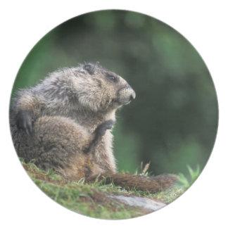 hoary marmot, Marmota caligata, scratches Plate