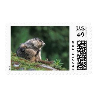 hoary marmot, Marmota caligata, scratches Postage
