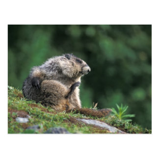hoary marmot, Marmota caligata, scratches Postcard
