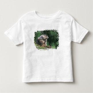 hoary marmot, Marmota caligata, scratches T-shirt