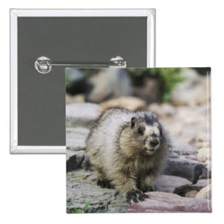 Hoary Marmot, Marmota caligata, young with Pins