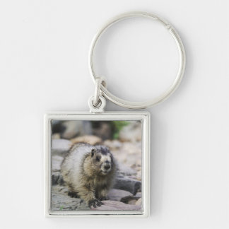 Hoary Marmot, Marmota caligata, young with Keychain