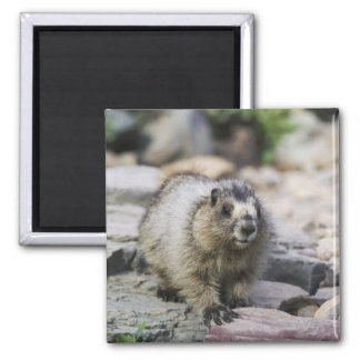 Hoary Marmot, Marmota caligata, young with Magnet