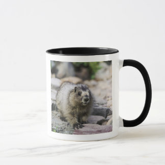 Hoary Marmot, Marmota caligata, young with Mug