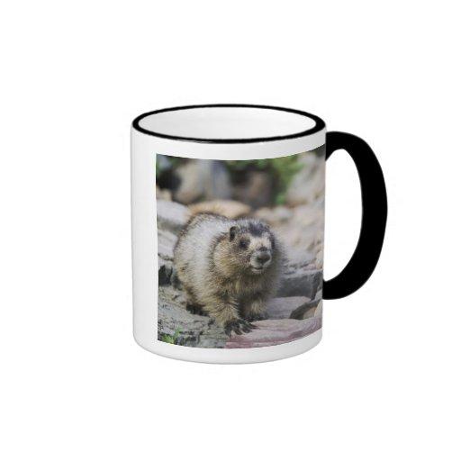 Hoary Marmot, Marmota caligata, young with Coffee Mugs