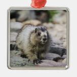 Hoary Marmot, Marmota caligata, young with Square Metal Christmas Ornament