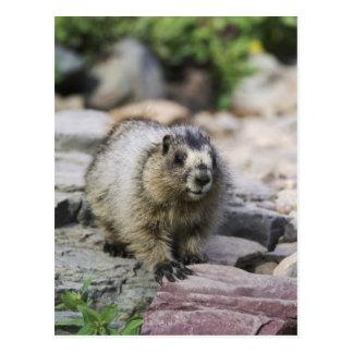 Hoary Marmot, Marmota caligata, young with Postcard