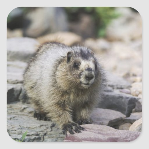 Hoary Marmot, Marmota caligata, young with Square Sticker