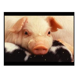 Hocico adorable de la cara del cerdo del postal