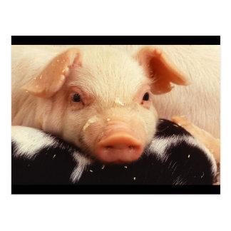 Hocico adorable de la cara del cerdo del tarjeta postal
