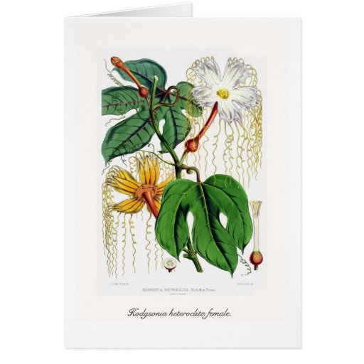 Hodgsonia heteroclita female. greeting card