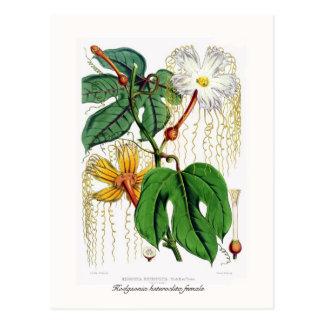 Hodgsonia macrocarpa postcard