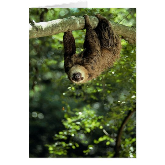 Hoffmann's two-toed sloth card