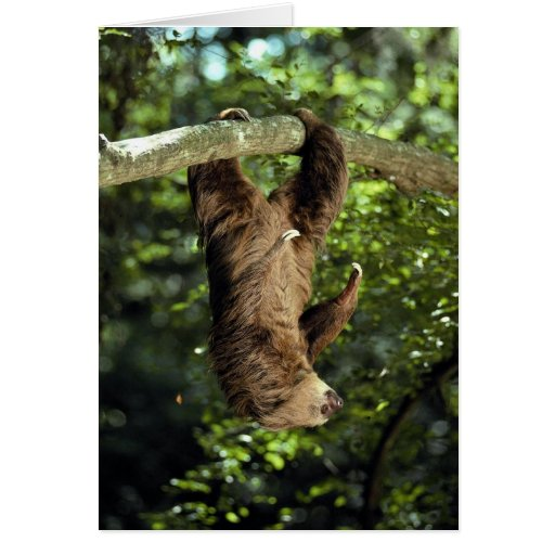 Hoffmann's two-toed sloth greeting card