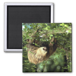 Hoffmann's two-toed sloth 2 inch square magnet