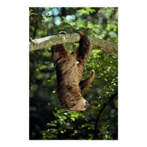 Hoffmann's two-toed sloth poster