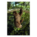 Hoffmann's two-toed sloth posters