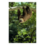 Hoffmann's two-toed sloth print