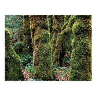 Hoh Rain Forest, Olympic National Park, Washington Postcard