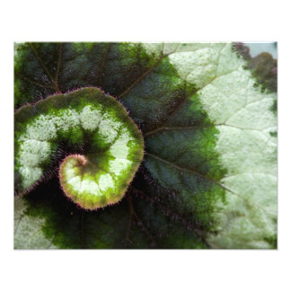 Hoja de la begonia del caracol foto