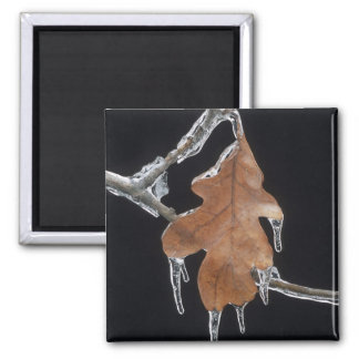 Hoja del roble con las hoces del hielo después de imán para frigorifico