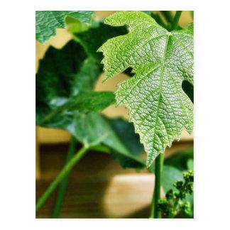Hoja verde de la uva postal